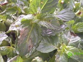 薄荷主要病虫害的防治办法