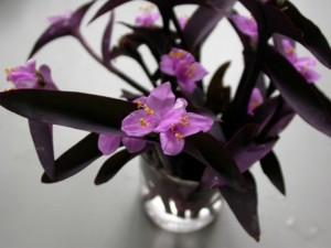 紫竹梅的养殖方法和注意事项