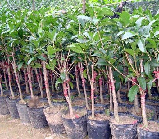四季桂的养殖方法和注意事项