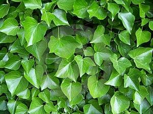 常春藤的养殖方法和注意事项