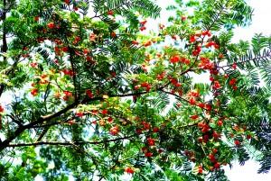 红豆杉栽培品种的选择