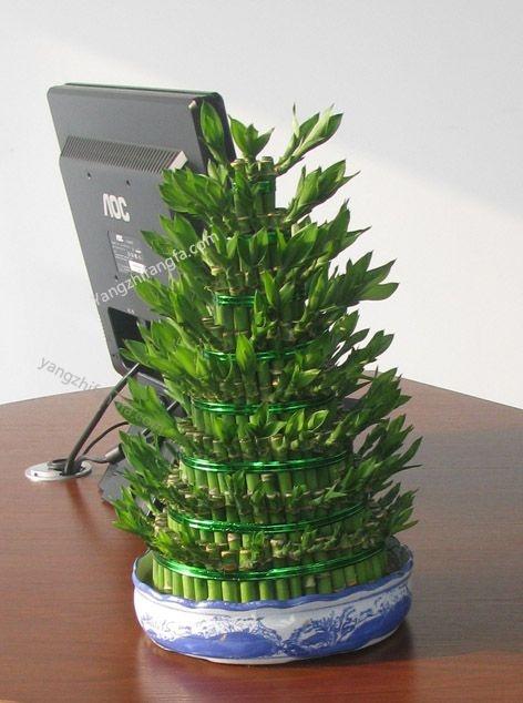 富贵竹的养殖方法和注意事项