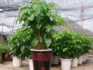 绿宝树的养殖方法和注意事项