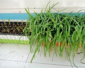 阳台韭菜的种植方法