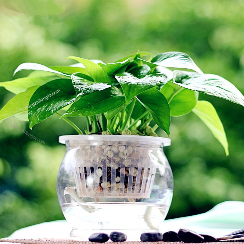 家庭养殖盆栽 - 室内怎样种植绿萝