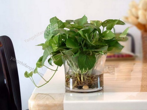 水培植物夏季如何防止蚊虫滋生