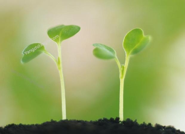 花卉种子催芽的方法