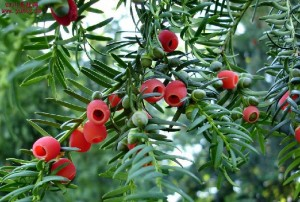 红豆杉苗木定植及管理