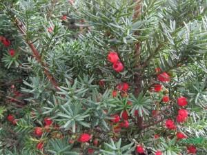 红豆杉的移栽方法