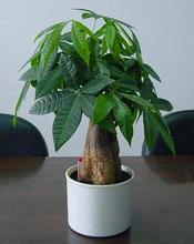 发财树的栽培管理要点有哪些