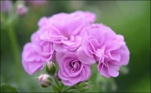 影响天竺葵开花的因素有哪些