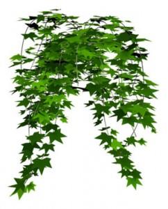 常春藤叶斑病的防治方法