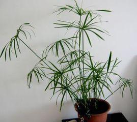 台湾竹的养殖方法和注意事项