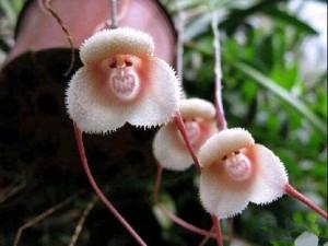 猴面小龙兰的养殖方法和注意事项