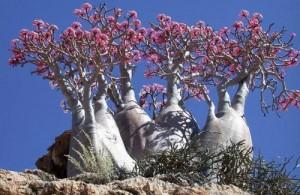 沙漠玫瑰的养殖方法和注意事项