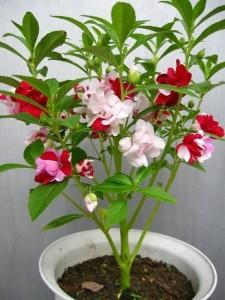 凤仙花的养殖方法和注意事项