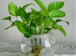 水培绿萝叶子发黄怎么办?