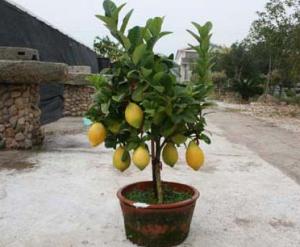 柠檬的养殖方法和注意事项