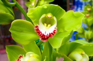 大花蕙兰生长需要什么样的环境?
