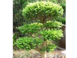 黄杨树的养殖方法和注意事项