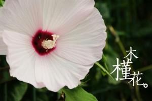 木槿花的养殖方法和注意事项