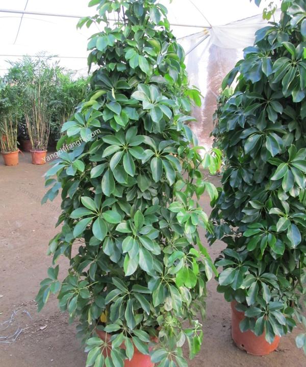 元宝树的养殖方法和注意事项