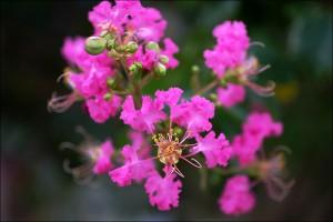 紫薇的养殖方法和注意事项