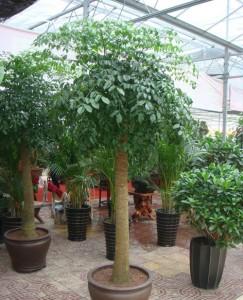富贵树的养殖方法和注意事项