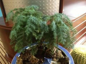 澳洲杉的养殖方法和注意事项