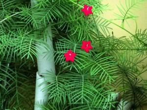 羽叶茑萝的养殖方法和注意事项