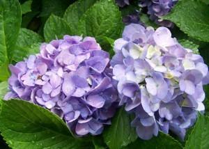 怎样用芽插法繁殖绣球花?