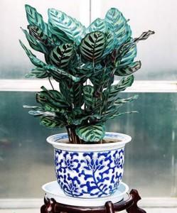 美丽竹芋的养殖方法和注意事项