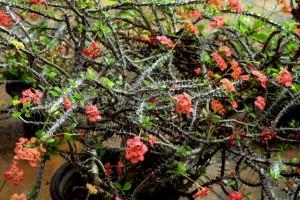 虎刺梅的养殖方法和注意事项