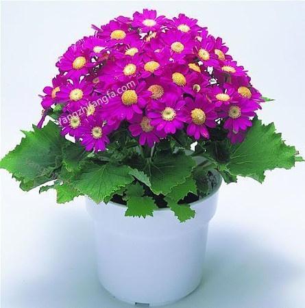 购买鲜花敲花盆确定花好坏