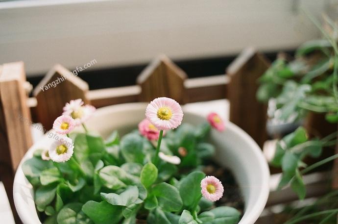 5月份阳台花卉的养殖指南