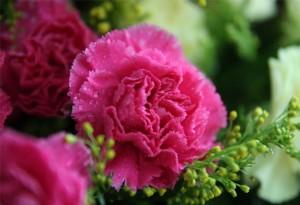 盆栽康乃馨的养殖方法和注意事项