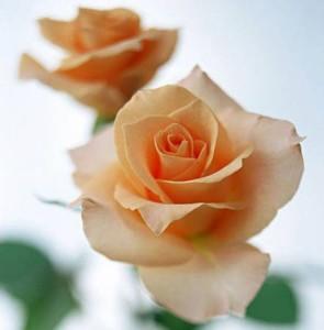 香槟玫瑰的养殖方法和注意事项
