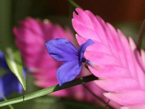 铁兰(紫花凤梨)的养殖方法和注意事项