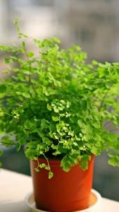 铁线蕨的养殖方法和注意事项