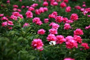芍药花的养殖方法及注意事项