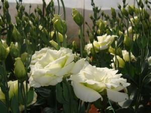 洋梗桔的养殖方法和注意事项