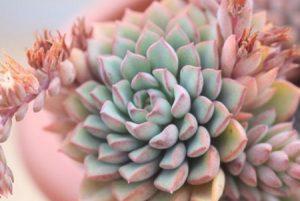 密叶莲的养护和繁殖方法