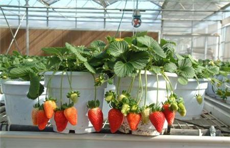 草莓怎么养结果好