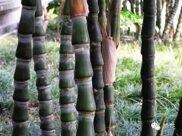 罗汉竹的养殖方法及注意事项有哪些