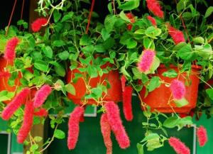 口红吊兰的养殖方法及注意事项