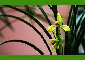兰花黄叶或焦尖预防措施