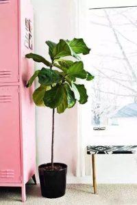 琴叶榕的养殖方法