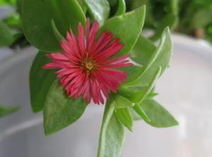 玻璃翠的养殖方法和注意事项