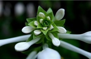 玉簪花的养殖方法和注意事项
