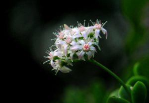 玉树花的养殖方法和注意事项